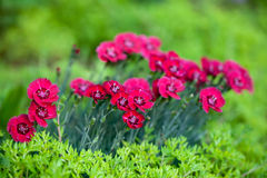Red Dianthus Flowers. In bloom in a spring garden Stock Photo