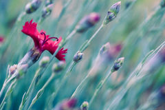 Red Dianthus flowers Royalty Free Stock Photography