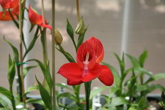 Red disa orchid Stock Images
