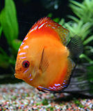 Red discus Royalty Free Stock Images