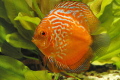 Red discus fish Stock Photo