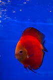 Red discus fish. Red melon discus fish on blue background stock image
