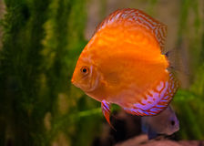 Red Discus Fish. A Red Discus Fish In An Aquarium Royalty Free Stock Photos