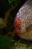 Red discus fish in natural environment Royalty Free Stock Photo
