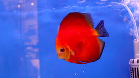 Red discus fish. Swimming on blue fish-tank stock footage