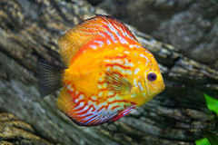 Red discus Symphysodon discus. Royalty Free Stock Images