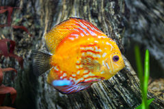 Red discus Symphysodon discus. Royalty Free Stock Photos