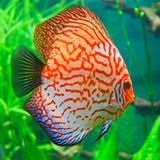 Red discus (Symphysodon discus) Stock Image