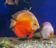 Red discus (Symphysodon discus) Royalty Free Stock Images