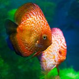 Red discuses (Symphysodon discus) Royalty Free Stock Image