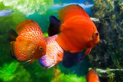 Red discuses (Symphysodon discus) Royalty Free Stock Photos