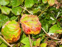Red diseased dying leaves up close wet rain. England; UK Royalty Free Stock Photography