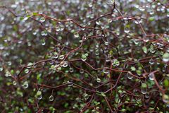 Muehlenbeckia Astonii with Rain Droplets. Red divaricated dense branches and tiny heart-shaped leaves of the Muehlenbeckia Astonii bush are dripping with fresh Royalty Free Stock Image