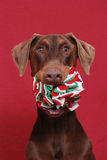 Red Doberman holding toy Royalty Free Stock Images