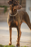 Red Doberman Pinscher Standing In A Patio Area Stock Photography