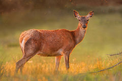 Red doe in golden sunset light Stock Image