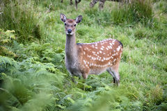 Red Doe. A red doe watching intruders Royalty Free Stock Photography
