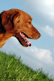 Red dog. In the meadow stock photos