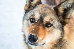 Red dog against the white snow, the Arctic Stock Photography