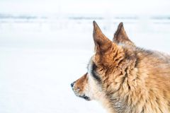 Red dog against the white snow, the Arctic Stock Image