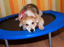 Red dog in bandanna lying on trampoline Royalty Free Stock Image