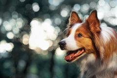 Free Red Dog Border Collie In Sunlight Stock Images - 52015224