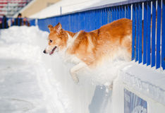 Red dog border collie jump out Stock Images