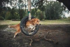 Red Dog Border Collie Jumping Through A Tire Stock Photos