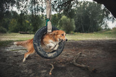 Red dog Border Collie jumping through a tire Stock Photos