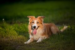 Red dog border collie lying Stock Photos