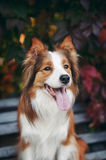 Red dog border collie portrait Royalty Free Stock Photography
