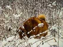 Red dog. Among the branches in the winter forest Royalty Free Stock Image