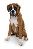 Red dog breed boxer on a white background. Royalty Free Stock Photography
