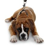 Red dog breed boxer a white background. Royalty Free Stock Photo