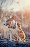 Red dog of breed a bull terrier in a checkered scarf Stock Photography