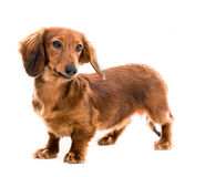 Red dog breed dachshund Stock Photos