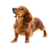 Red dog breed dachshund. Beautiful brown dog breed dachshund on white background Stock Image