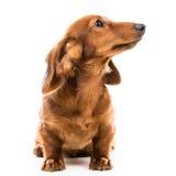 Red dog breed dachshund. Brown dog breed dachshund on white background Royalty Free Stock Photo