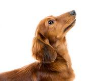 Red dog breed dachshund. On white background Royalty Free Stock Photos