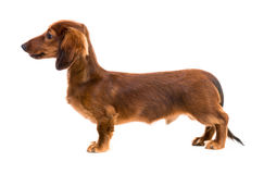 Red dog breed dachshund. On white background Stock Images