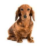 Red dog breed dachshund Royalty Free Stock Photography