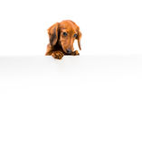 Red dog breed dachshund Stock Photo