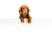 Red dog breed dachshund Stock Photography