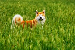 Dog in a field with tall grass. Akita Inu japan. Red dog of breed Japanese Akita Inu is walking in a field with high grass Royalty Free Stock Photo