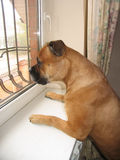 Red dog bullmastiff looking outside the window. Curious red dog bullmastiff looking outside the window Royalty Free Stock Photo