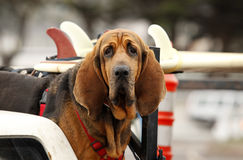Red dog in car. Red dog Bloodhound in car Stock Photos