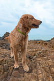 Red dog with a collar on a rock Royalty Free Stock Photos