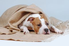 Red dog is covered with blanket. Pet resting under a blanket.