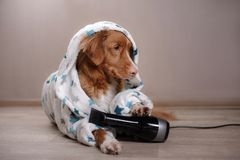 A dog in at home, after a shower. A red dog in a dressing gown at home, after a shower, Nova Scotia Duck Tolling Retriever royalty free stock photography