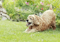 Red dog, English Cocker Spaniel plays in a gard Stock Photos